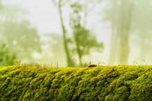 Green Moss On Bark Tree In Forest. Foggy Trees On Background. Damp Weather. Mossy Background For Wallpaper. Macro Close View On Lush Lichen Natural Surface.
