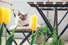 Lifestyle Photo Of A Beautiful Green Balcony And Littlest Cute Devon Rex Cat Sleeping On A Wooden Chair Of Outdoor Furniture. Spring Mood. Selective Focus And Natural Light.