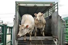 Chargement Bovins Dans Camion Transport D'animaux