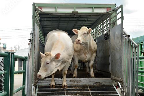 Fototapeta Chargement bovins dans camion transport d'animaux