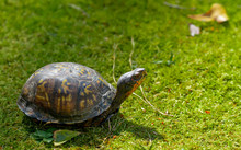 Red Eyed Eastern Box Turtle On...