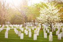 Spring And Blooming Cherry, Sakura At Cemetery Graveyard With Many Rows Of Tombstones