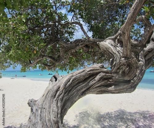 Divi Divi Tree on Eagle Beach Aruba Canvas Print