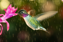 Beautiful Male Hummingbird Visiting Pink Flower In Rainy Day