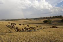 Wild Horses At The Black Hills...