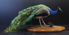 Closeup Of A Stuffed Taxidermy Peacock