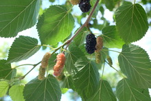 Black Mulberries Ripening On A Mulberry Tree