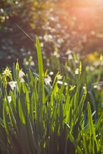 Leucojum Aestivum  - Summer Snowflake -  Loddon Lily -  Beautiful Summer White Flowers.