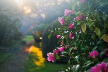 Beautiful Romantic Camellias I...