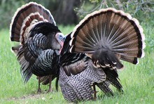 Turkey Wild