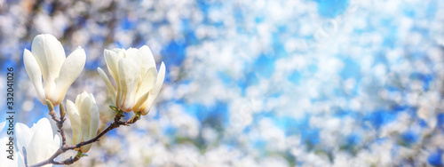 Fototapeta Spring background, panorama, banner - white magnolia flowers on a tree on the background of a blooming garden and the sun lights, closeup with space for text obraz
