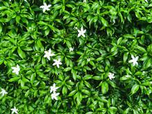 Beautiful White Of Star Jasmin...