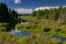 Purple Loosestrife Along Marsh Creek In The Country Near Brooke Ontario Canada