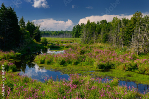 Purple loosestrife along marsh creek in the country near Brooke Ontario Canada Fototapete
