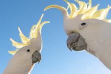 Cockatoo The Sulphur-crested C...