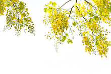 Golden Shower Flowers Is Cassia Fistula Tree, Summer Flowers In Songkran Festival Of Thailand On White Isolated Background.