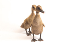 Two  Ducklings  ( Indian Runne...