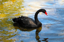 A Black Beautiful Swan Swims O...