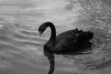 A Black Beautiful Swan Swims On The Lake On A Sunny Day. Black Swans Feed Mainly On Aquatic Plants And Small Algae, Do Not Disdain Also Grain.