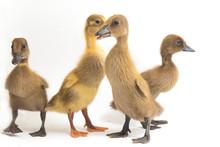 Four Ducklings ( Indian Runner...