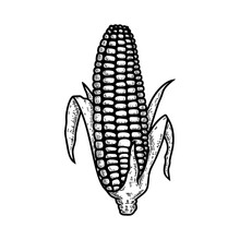 Illustration Of Ear Of Corn In Engraving Style. Design Element For Logo, Label, Sign, Emblem, Poster. Vector Illustration
