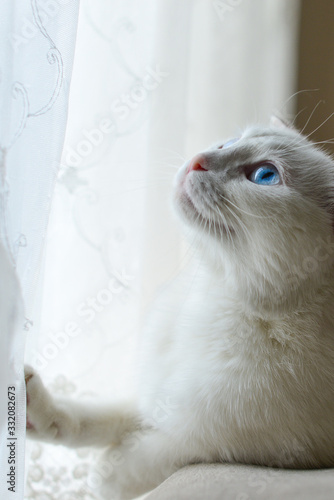 Cute white Scottish fold cat with blue eyes rest in front of window Canvas-taulu