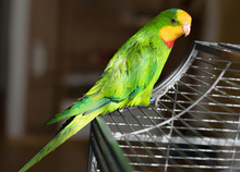 Barraband's Parrot Sits On A Cage