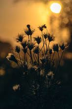 The Silhouette Of The Thistles...