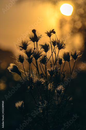 Fototapeta The silhouette of the thistles at sunset