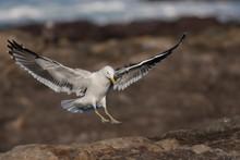 Seagull Landing On Rocks