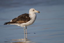 Seagull Standing In Shallow Water