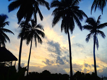 Hohe Kokospalmen Während Sonn...