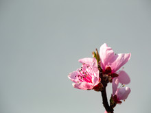Blossoms Of A Peach Tree In Fu...