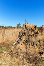 Large Uprooted Tree Stump. A Tree Uprooted By A Gale. Work In Forest. Aftermath Of A Wind Storm.