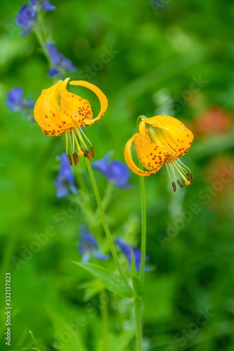 Vertical closeup shot of beautiful yellow tiger lily flowers