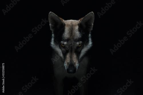 Obraz na płótnie Wolf in different perspectives on dark blue background
