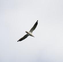 Seagull In Full Flight In A Me...