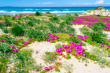 Pink Flowers In Platamona Shore
