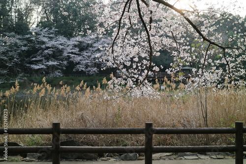 Fototapety, obrazy: 泉の森の池のほとり桜の開花(神奈川県大和市)