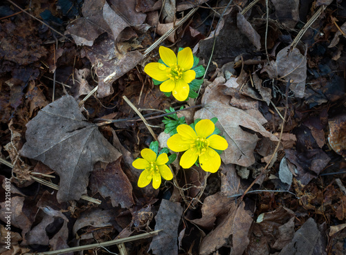 Photo Bright Yellow Aconite Flowers on a Bed of Brown Leaves
