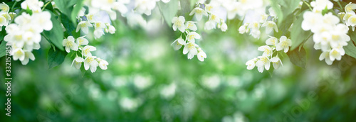 Photographie Beautiful scent of Jasmine flower flower spreads through the air in spring