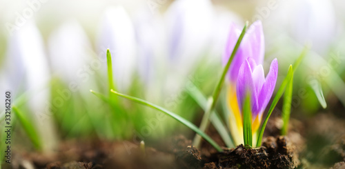 Obraz Panoramic view to spring flowers in the park - fototapety do salonu
