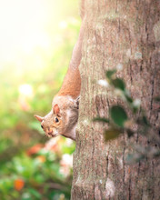A Squirrel On A Tree Looking I...