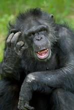 Portrait Of A  Chimpanzee (Pan Trodglodytes) Scratching Its Head