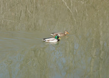 A Mating Pair Of Mallard Ducks...