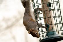 Grey Squirrel On A Squirrel Pr...
