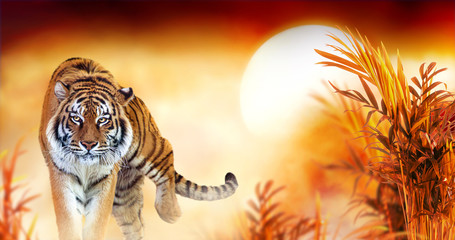 Panel Szklany Zwierzęta Tiger and fantasy sunset in jungles with palm trees. Exotic banner backround and panthera tigris. Spectacular warm sun light, dramatic red cloudy sky. Portrait of pride animal walking forward.