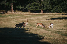 Red Deer - Fighting Of Two Stags. Strong Young Deers With Horns In The Fight. Deer Fight For The Female. Big Deer Horns.