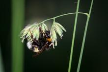 Portrait, Nahaufnahme Einer Hummel An Einer Pflanze