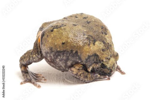 Photo Banded bullfrog or Asian narrowmouth toads It also know chubby or bubble frog Th